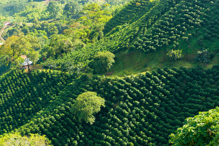 Looking down on a landscape of hills covered in coffee plants near Manizales, Colombia