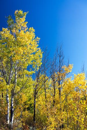 yellow trees: Yellow Aspen trees and blue sky in Grand Teton National Park Stock Photo