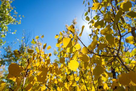 aspen tree: Closeup of yellow foliage of an Aspen tree in autumn in Grand Teton National Park
