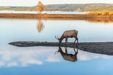 Young Elk reflected in the crystal clear water of Yellowstone Lake in Yellowstone National Park