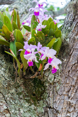 cattleya: Cattleya trianae orchid growing in a tree in Barichara, Colombia.  Cattleya trianae is the national flower of Colombia.