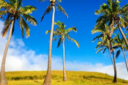 rapanui: Palmeras en la isla de Pascua cerca de la playa de Anakena en Chile