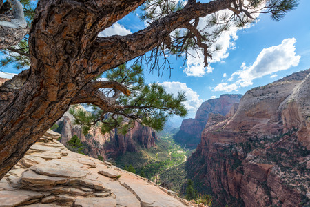 Tree on Angels Landing with Zion Canyon in the background in Zion National Park Imagens