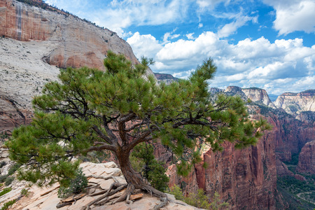 Tree on Angels Landing in Zion National Park