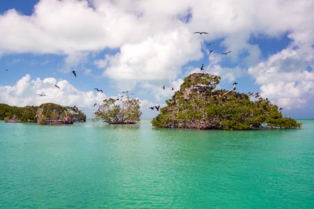Frigatebirds sulle mangrovie nel Mar dei Caraibi nella riserva della biosfera di Sian Kaan vicino a Punta Allen, Messico