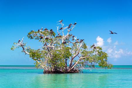 Mangrove tree in the Caribbean Sea in the Sian Kaan Biosphere Reserve near Tulum, Mexico Stok Fotoğraf