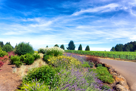 Flowers growing next to vineyards in Oregon wine country in Dundee Stock Photo