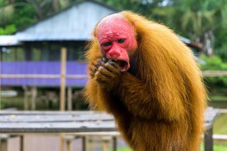 Closeup view of a Bald Uakari Monkey eating near Iquitos, Peru Stock Photo