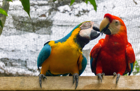guacamaya: A scarlet macaw with a blue-and-yellow macaw near Iquitos, Peru Foto de archivo