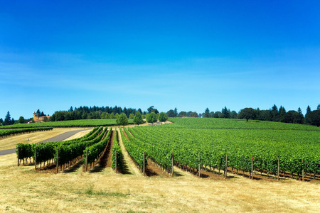 Rows of grapes for Pinot Noir in Dundee, Oregon Stock Photo