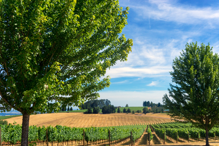 View of vineyard in Dundee, Oregon