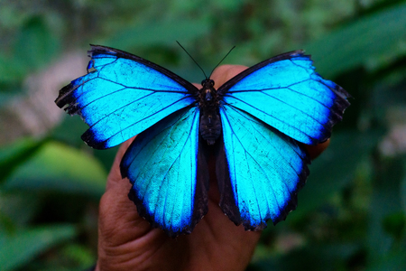 Closeup view of an old blue morpho butterfly near Iquitos, Peru