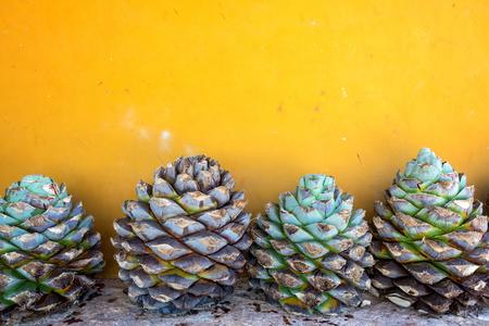 agave: Piñas de agave azul contra una pared amarilla en México