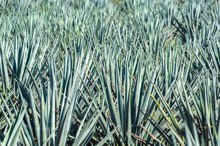 Field of blue agave plants in a field in Mexico.  Blue agave is the main ingredient in tequila Stock Photo