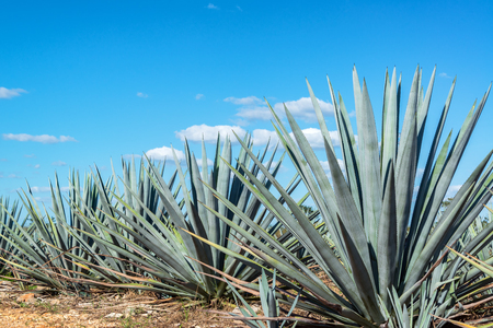 Blue agave plants in Mexico with a beautiful blue sky