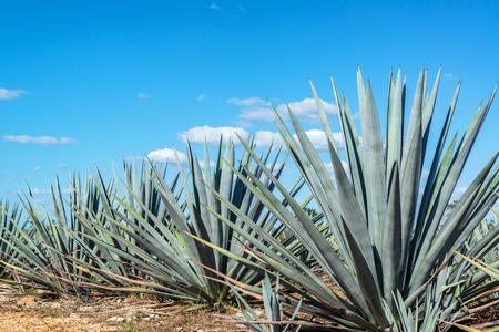 아름 다운 푸른 하늘 가진 멕시코의 푸른 agave 식물