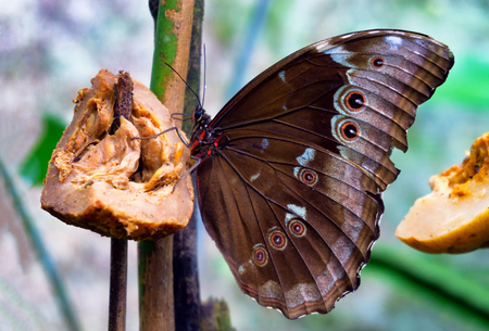 Blue morpho butterfly with its wings closed near Iquitos, Peru