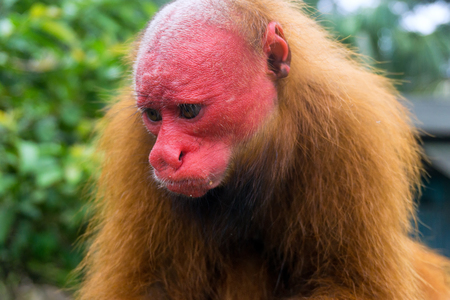 Red face of a bald uakari monkey near Iquitos, Peru Stock Photo