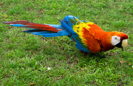guacamaya: Scarlet Macaw as seen near Iquitos, Peru