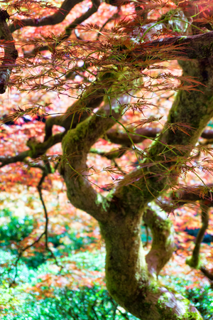 View of a red Japanese Maple Tree in Portland, Oregon