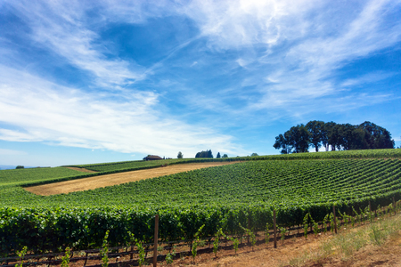 Vineyard for Pinot Noir wine in Oregon wine country Stock Photo