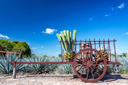 agave: Plantas de agave azul en un vagón cerca de Valladolid, Mexico