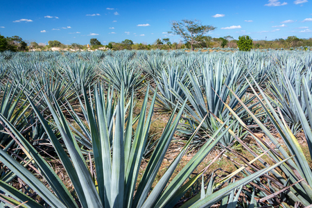 Field of blue agave for tequila near Valladolid, Mexico 免版税图像