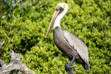 Closeup of a brown pelican near Rio Lagartos, Mexico