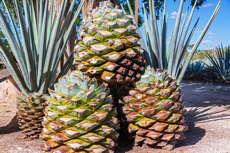 Stack of blue agave pineapples used for making tequila near Valladolid, Mexico