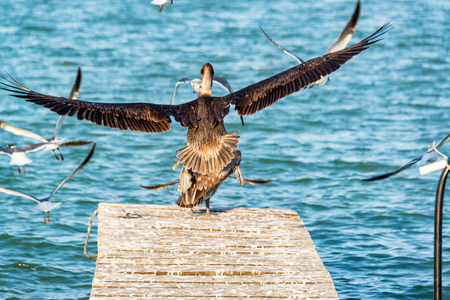 Brown pelican and other birds taking off from a dock in Rio Lagartos, Mexico