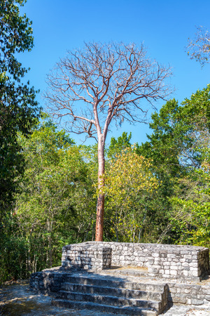 calakmul: Platform of Mayan ruins with a tall leafless tree in Calakmul, Mexico