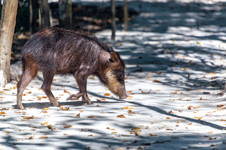 calakmul: Peccary in the jungle in the Calakmul Biosphere Reserve in Campeche, Mexico