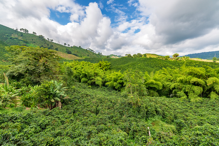 Landscape of a hills covered in coffee plants in the coffee triangle region of Colombia near Manizales Фото со стока