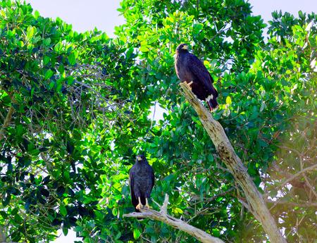View of eagles in a tree in Rio Lagartos, Mexico