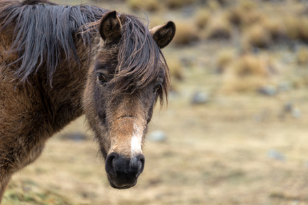 Rugged looking horse in the cold frigid highlands in Bolivia