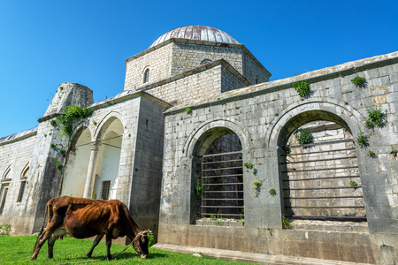 Cow munching on some grass outside the Lead Mosque in Shkoder, Albania Stock Photo