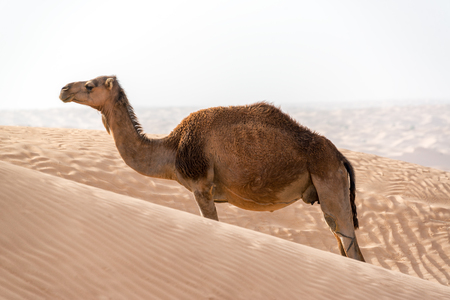 A single solitary camel standing amongst the sand dunes in the Sahara Desert near Douz, Tunisia