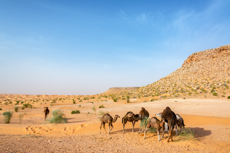 Group of camels in the Sahara Desert near Douz, Tunisia