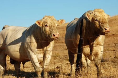Image of two bulls