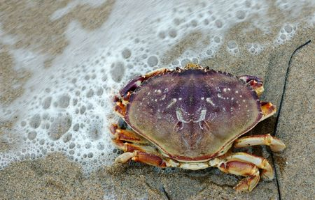 Image of dungeness crab on shore