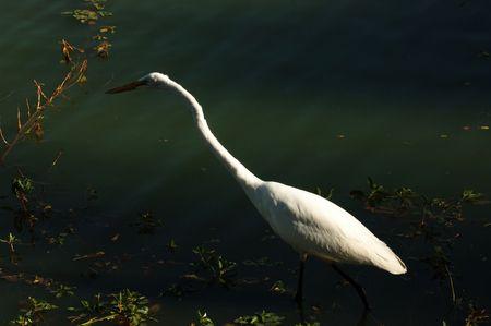 Image of Great Egret