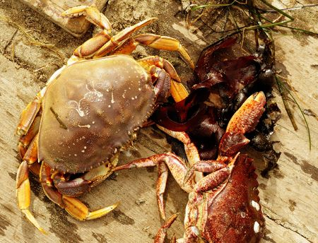 Close up image of dungeness crab