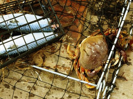 dungeness: Close up image of dungeness crab