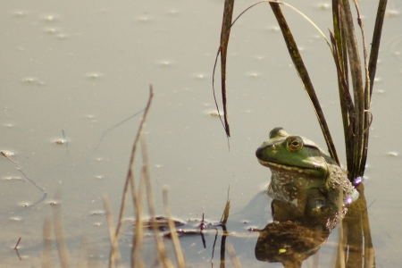 Bullfrog in flood waters photo