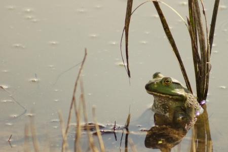 Bullfrog in flood waters