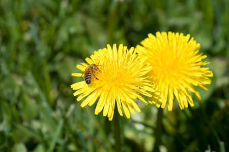 Bee pollinating two dandelions with a grass background Stock Photo