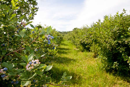 A look down the rows of blueberry shrubs on a Michigan farm