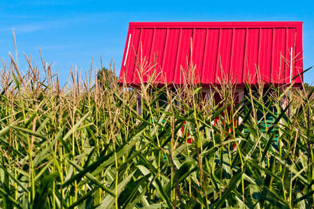 A small quaint building with a deep red roof in a field of corn. photo