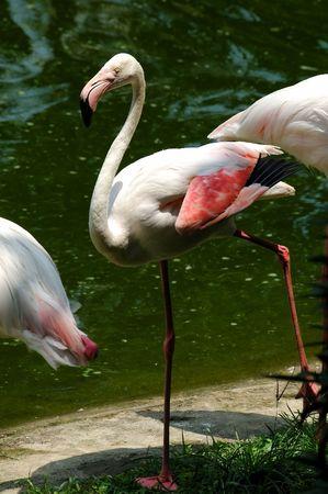 flamingo Stock Photo - 478905