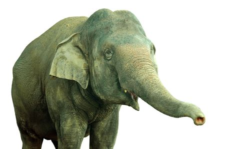 isolated a asian adult elephant Stock Photo - 532777